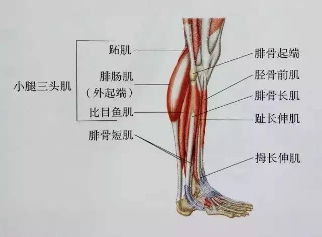 > 正文   下面是小腿的肌肉结构图 可以简单了解一下