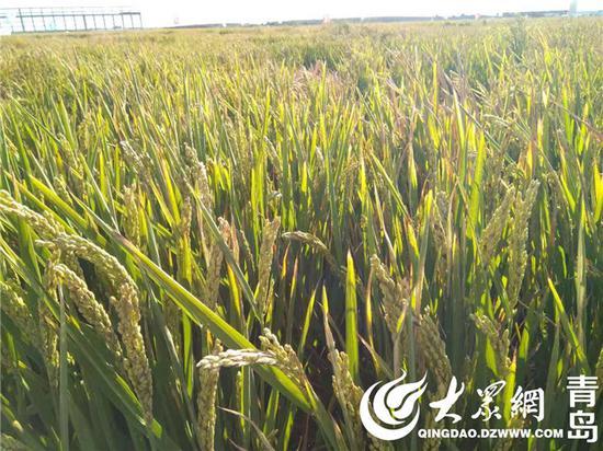 海水稻试种亩产不到300公斤?专家:次年会更高