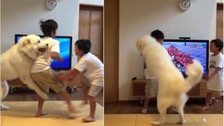 日本俩小兄弟打架 大白狗左劝右拉轮流管制