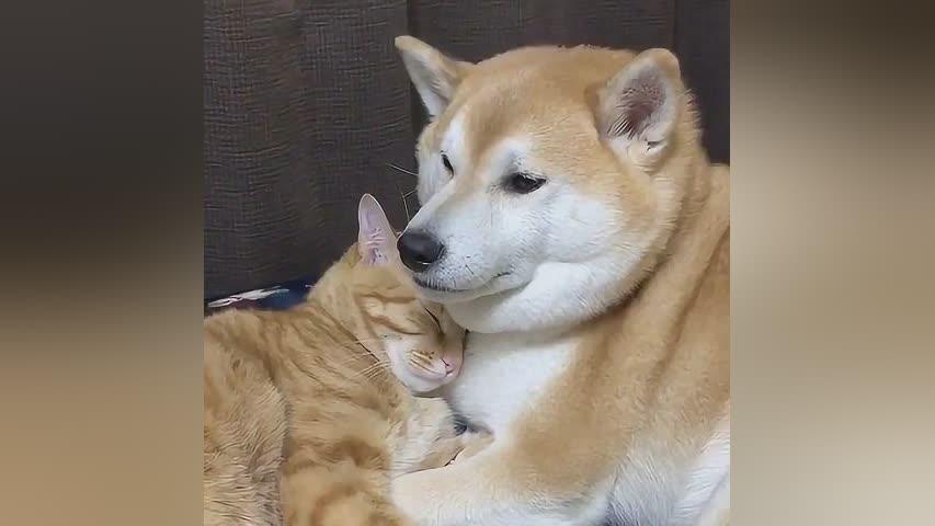 日本网友家里养了一对特别有爱的柴犬和猫咪,感情好得不得了