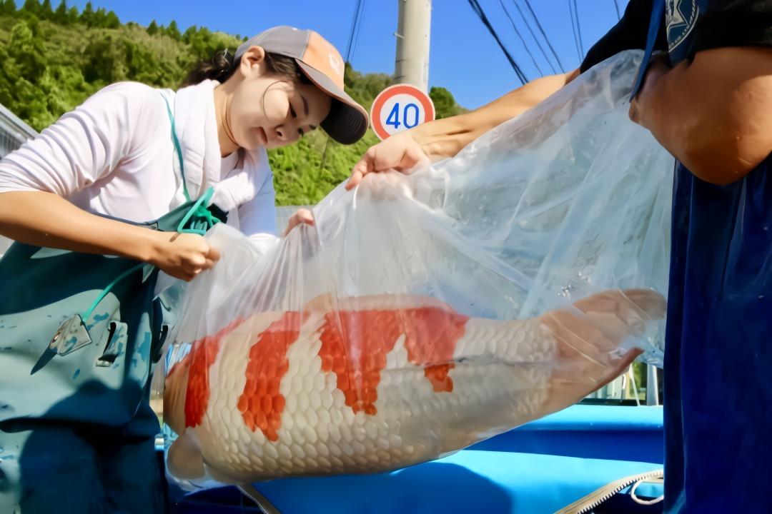 日本锦鲤养殖场,规模虽不大,精品鱼不少!