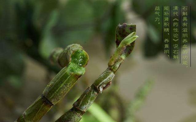 揭秘石斛的功效与作用之_霍山石斛的品质跟环境的关系