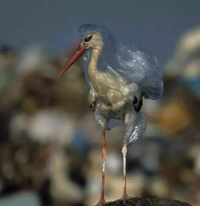 让海鸟吃瓶盖,海龟被塑料勒成s形:破坏环境,人类很擅长。