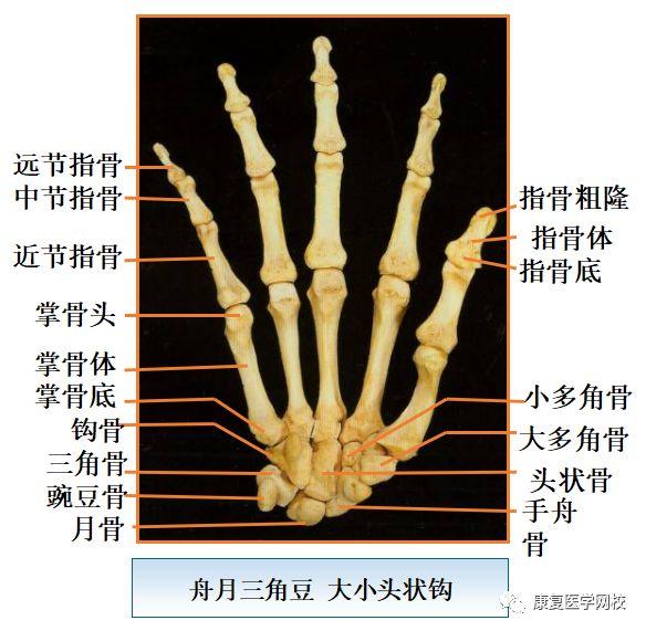 手骨的结构图片大全