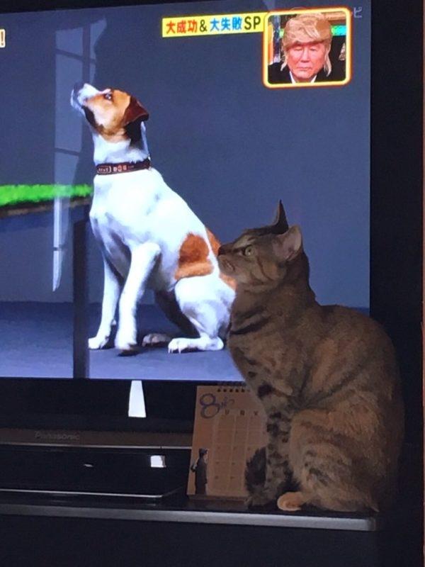 日本颜面乘骑_神巧合,猫咪乱入电视场景,成功完美破坏剧中帅气欧巴的颜面!