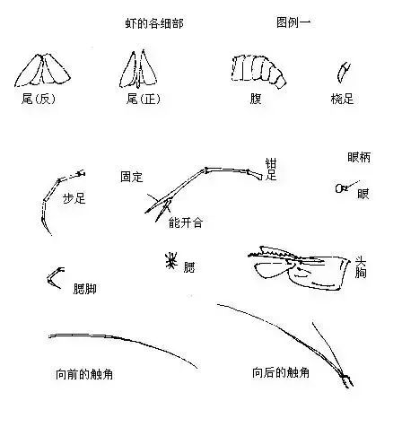 虾的结构示意图:↓↓↓