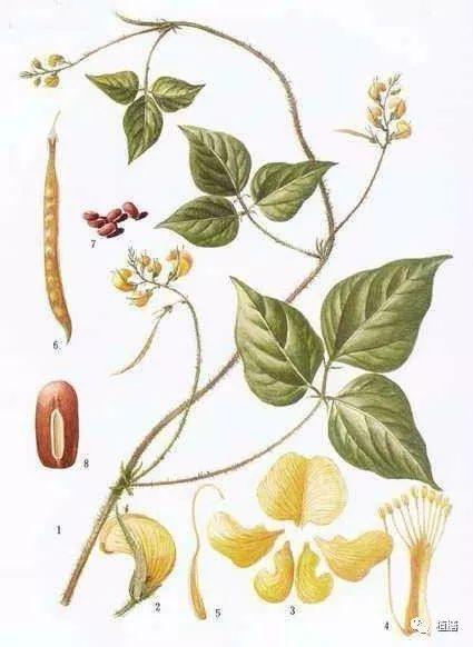 (赤小豆原植物手绘图) 赤小豆,又叫饭豆,红小豆,红豆,学名vigna