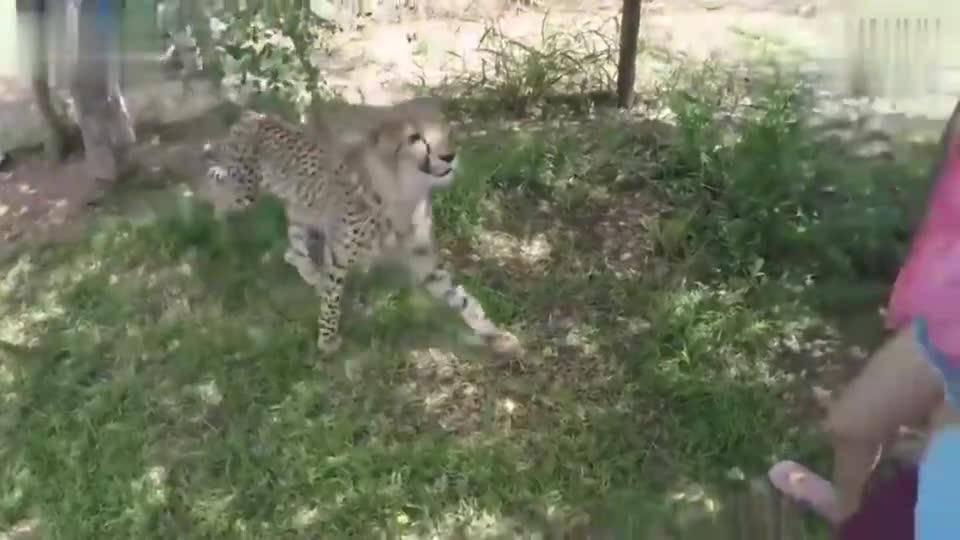 惊险!中国女游客在南非被猎豹袭击
