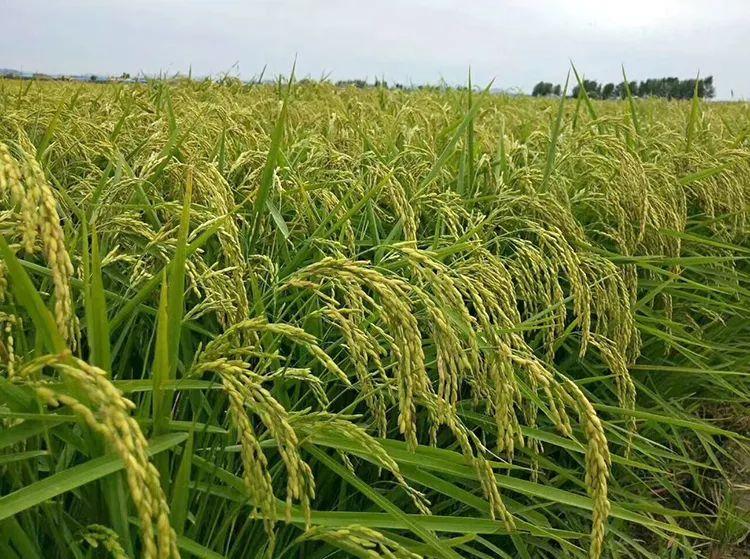 甜软糯回味无穷的五常大米_一年只产一季稻