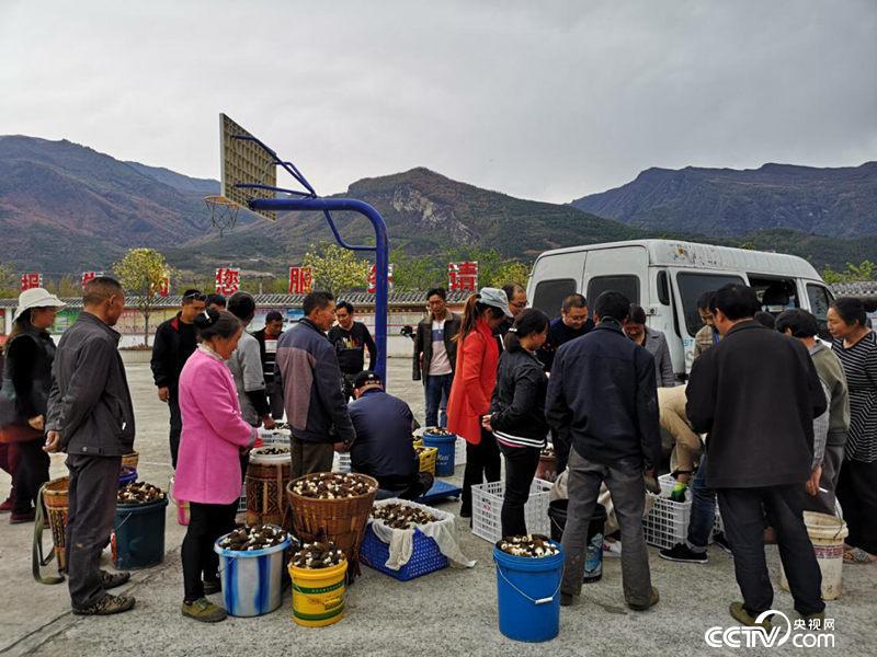 如今团结村的羊肚菌当天便可销往成都,仅用3个小时车程。(何川摄)