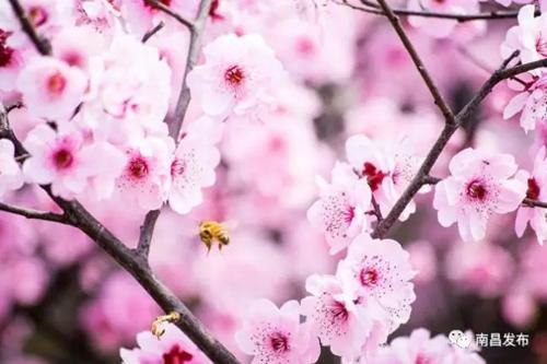 萍乡市欧阳露_《三生三世》里的桃花林,在江西就能找到_江西频道_凤凰网