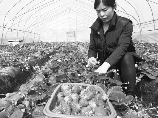 """安徽怀远:小草莓结出""""脱贫"""