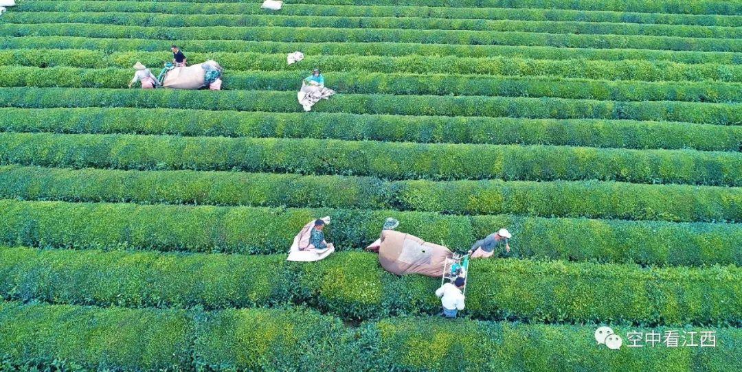 機器人採茶_航拍江西泰和千亩生态茶园夏日茶园一派繁忙景象(图)_江西