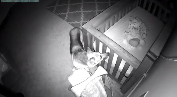 狗狗每天到半夜都去宝宝房间巡逻,尽责模样让网友们都感到暖心