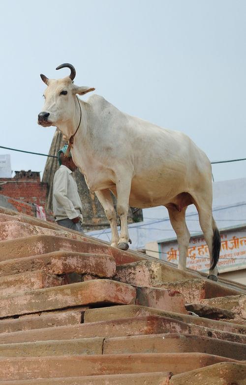 军事资讯_禁止杀牛14年后,印度中央邦流浪牛成灾_凤凰资讯