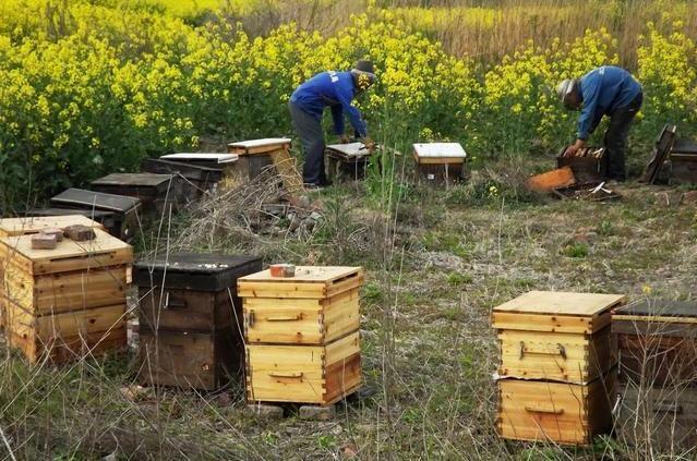中华小蜜蜂养殖技术_中华蜜蜂养殖技术 养殖中华蜜蜂的原因 视频-凤凰网视频-最具 ...