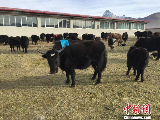西藏日喀则市一处帕里牦牛繁育基地。资料图 赵朗 摄